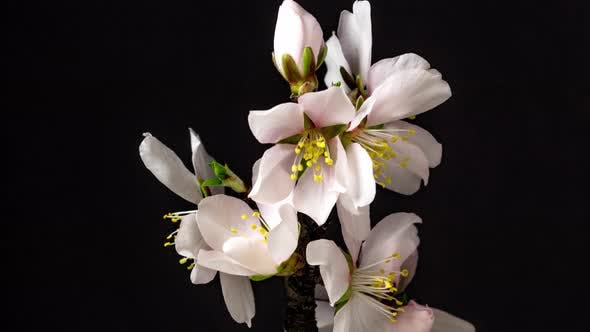 Thumbnail for Almond Flower Blossom Timelapse 2