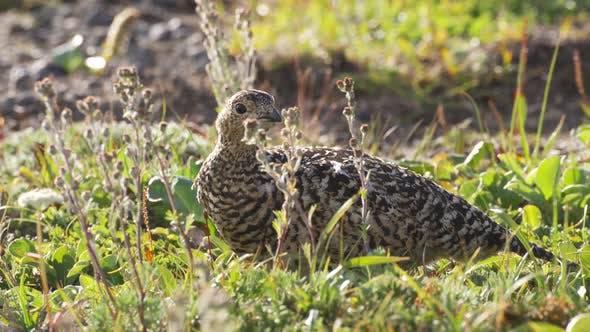 Ptarmigan (Lagopus Mutus) Close-up in the Grass