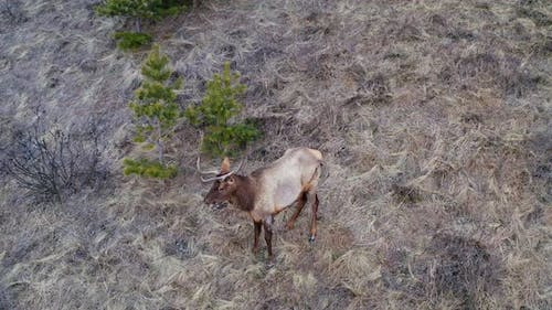 Top View of a Wild Horned Deer Looking Into the Camera