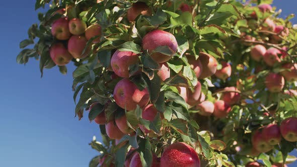 Shiny Delicious Apples In Apple Orchard