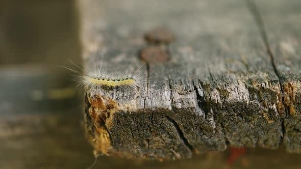 Thumbnail for Caterpillar
