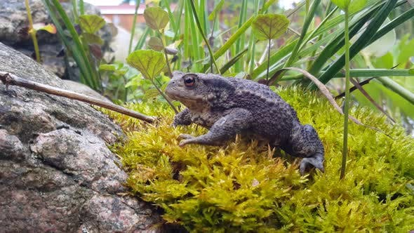 Thumbnail for A Common toad on moss