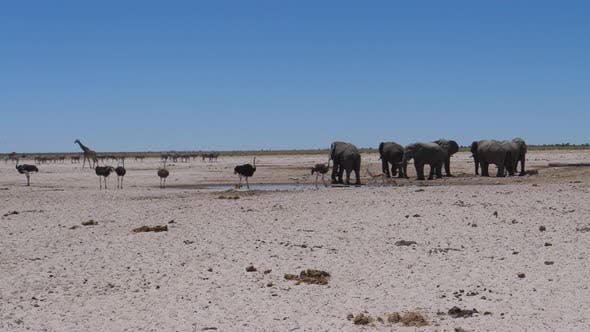 Elephants and ostrich around a small waterhole