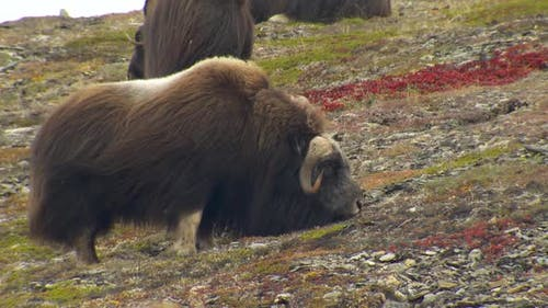 Musk Ox Bull Adult Several Eating Feeding in Autumn Wind Windy Cold