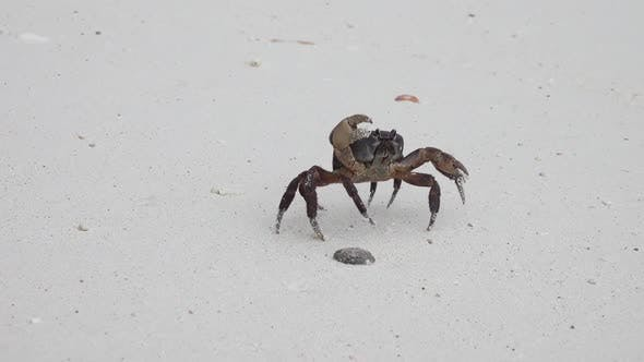 Thumbnail for Crab with Raised Claws Walking on White Beach