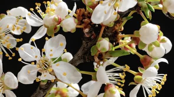 Thumbnail for Apple Tree Blossom Timelapse on Black
