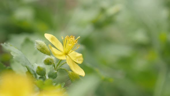 Thumbnail for Flower bush of yellow greater celandine close-up 4K 2160p 30fps UltraHD footage - Shallow DOF herbac