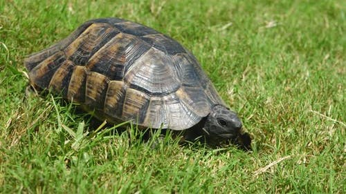 Tortoise Crawls on Green Grass