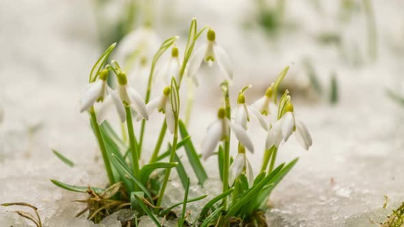 Thumbnail for Snow  Melting Snowdrops Flower Booming
