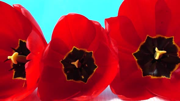 Thumbnail for Shooting of Tulips 3