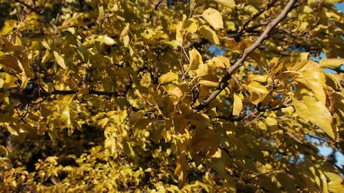 Yellow Leaves on the Trees Sway in the Wind on Sunny Autumn Day