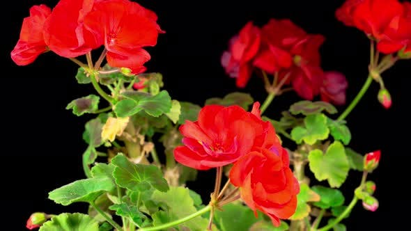 Thumbnail for Beautiful Time Lapse of Blooming Red Geranium