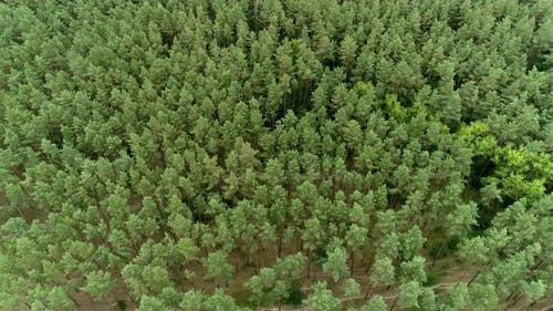 Aerial view of a beautiful young pine forest on a summer day. Landscapes shot on a drone
