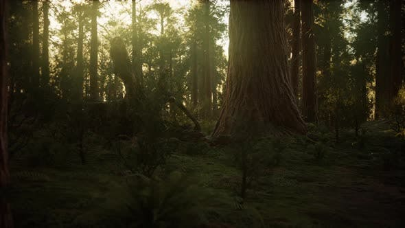 Cover Image for Hyperlapse in Sequoia Forest From Sunrise