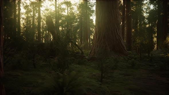 Thumbnail for Hyperlapse in Sequoia Forest From Sunrise