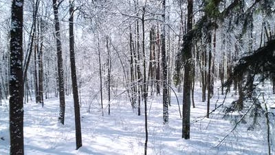 Flying Between the Trees in Snowy Forest Winter