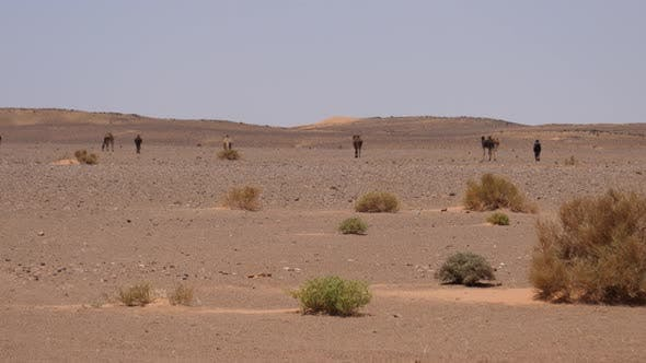 Cover Image for Camel shepherd and his herd dromedary camels