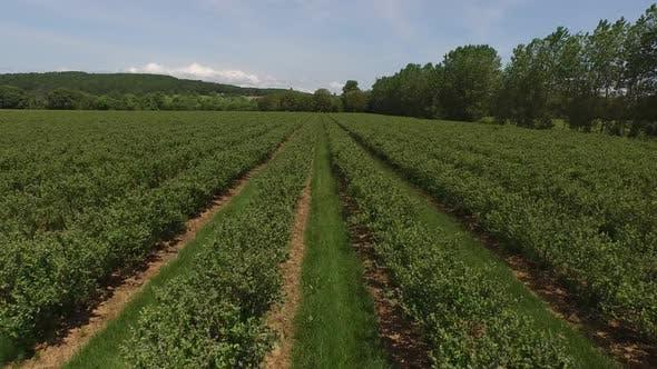 Thumbnail for Aerial shot of blueberry farm
