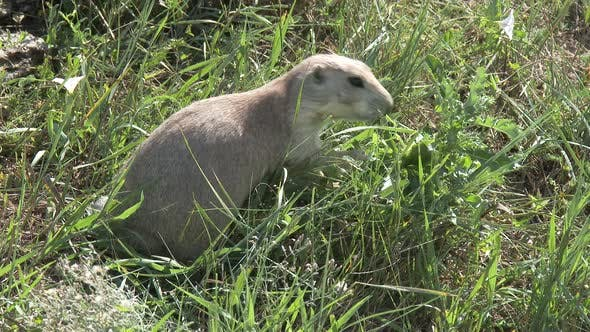 Thumbnail for Black-tailed Prairie Dog Adult Eating Feeding in Summer in North Dakota