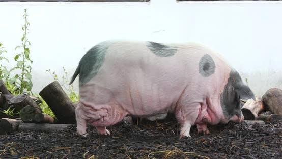 Thumbnail for Lovely pig in farm