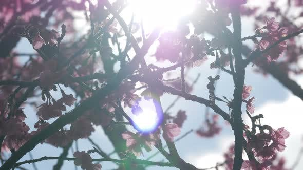 Thumbnail for Cherry Blossom With Sunshine
