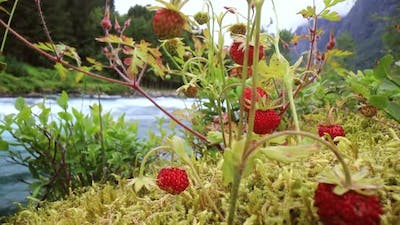 Berry of Ripe Strawberries Close Up