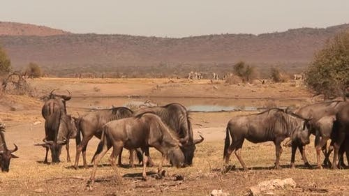 Blue Wildebeest Adult Herd Many Eating Grazing Dry Season Waterhole Water Hole