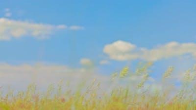 Field Grasses Swing in the Wind Clear Blue Sky