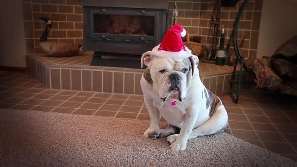 Thumbnail for Bulldog Ready For Christmas