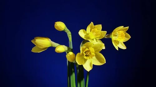 Gelbe Blumen blühen auf blauem Hintergrund