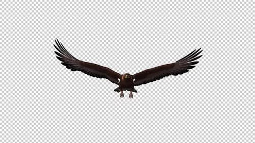 Golden Eagle - Gliding and Flying Loop - Front View