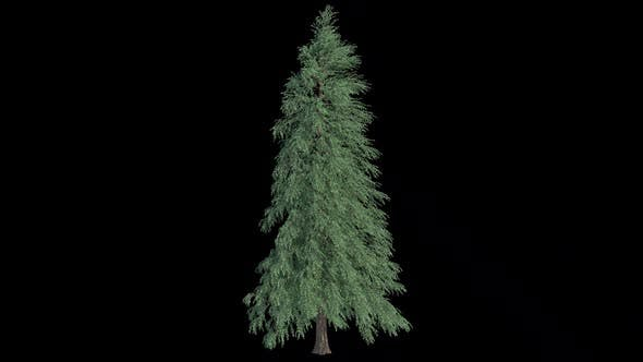 Abies Fraseri Tree