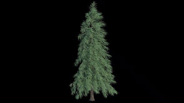 Abies Fraseri Tree