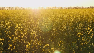 Cultivation of Rapeseed in Agricultural Fields