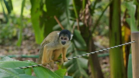 Thumbnail for Squirrel Monkey in zoo park
