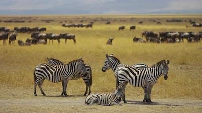 Family of zebras in the safari