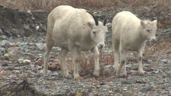 Dall Sheep Ewe Female Adult Young Several Foraging Looking For Food in Autumn Rain Wet Lamb