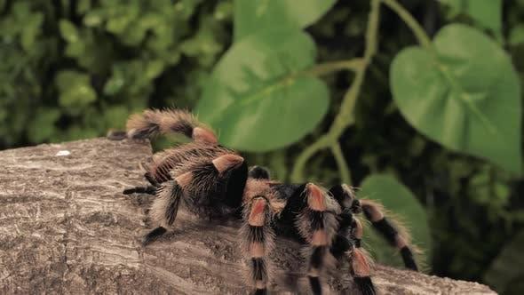 Thumbnail for Black And Orange Tarantula Walking, Closeup