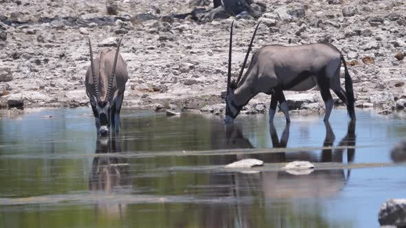 Thumbnail for Two gemsbok drinking from a pond