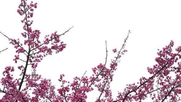 Thumbnail for Cherry Blossom Hintergrund