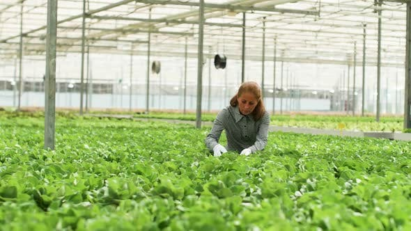 Thumbnail for Female Agronomist Inspecting a Culture of Green Salad