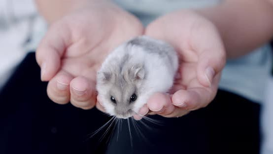 Gray Hamster Sitting on the Hands of a Little Girl. Close Up