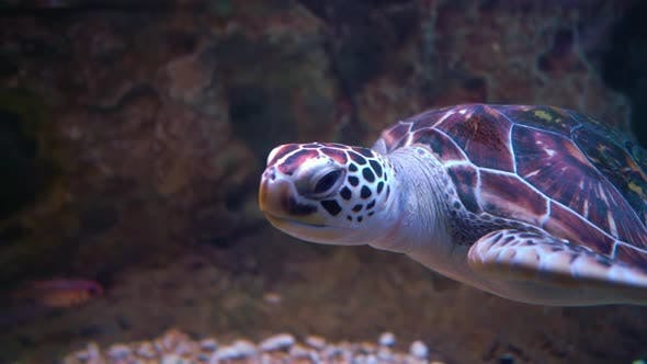 Thumbnail for Green Sea Turtle (Chelonia mydas), also Known as the Green Turtle