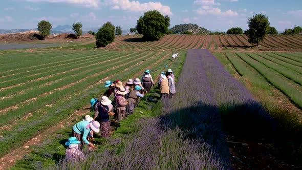 Farmers Working on Lavender