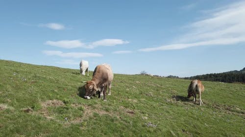 Cow Grazing On A Mountain Field