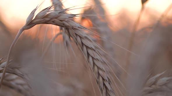 Thumbnail for Wheat Corn