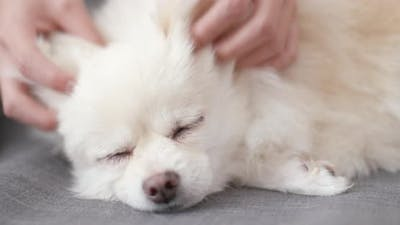 Pet Owner Touch on Pomeranian Dog