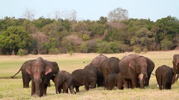 Thumbnail for Asian Elephant in Minnerya national park, Sri Lanka