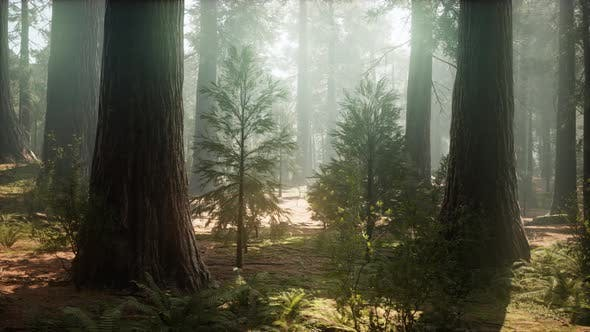 Thumbnail for Sunrise in the Sequoias, General Grant Grove, Sequoia National Park