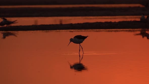 Thumbnail for Lonely Bird Is Walking on the Shallow Water an Catching Fish on the Sunset on the Sea Beach. Close